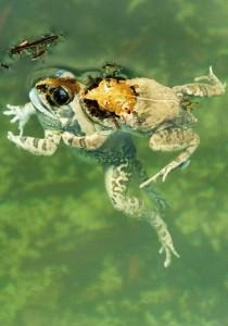 Frogs at Adventure Park,Morni hills