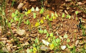 Mud puddling butterflies, Choe bank at Burj, Morni foothills
