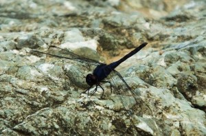 The dragonfly on way to the waterfall