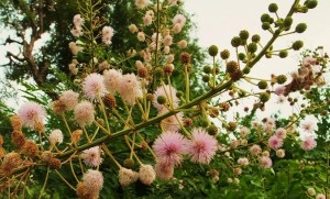 Flowers of Himalayan Mimosa, Morni hills (August)