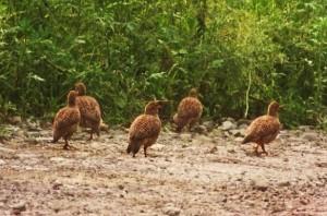 Grey Francolins on Daman-Thapli road, Morni-Tipra hills