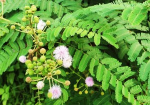 Himalayan Mimosa, Jallah road, Morni hills- August