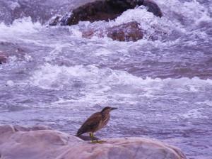 Indian Pond Heron, Ghaggar river at Chhamla village, Morni hills