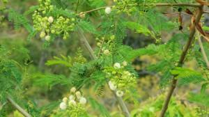 Lead tree, Kohlan, Thandog,Morni hills (End April)