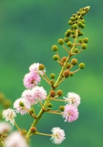 Pink Acacia Flowers