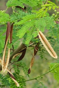 Seedpods of Lead tree at Kohlan, Morni hills (End April)