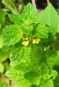 Tiny yellow flowers of Calamintha, Rasoon, Bhoj Balag, Morni hills