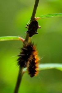 Assassin bug at Benog (photo courtesy the Hawk eye)