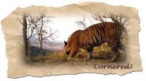 Award wining Camera trap photograph (Courtesy the Tiger-man, WII)