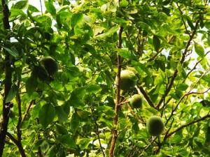 Bael tree, Chilla forest range