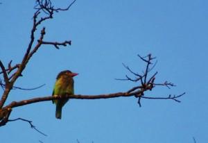 Barbet, Chilla forest range