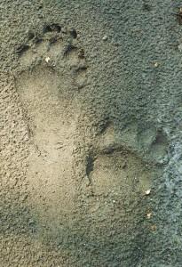 Black Bear tracks, Moriya sot, Gohri range, Rajaji National Park