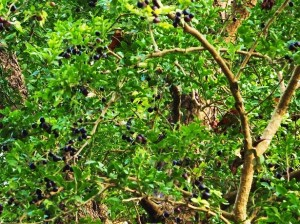 Black berries of Limonia, Chilla forest range