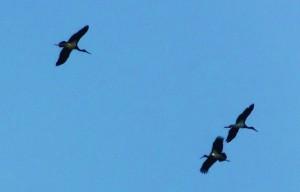 Black storks over Jhilmil Jheel