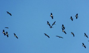 Black Storks over Jhilmil Jheel (Winter migration)