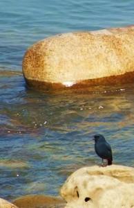 Blue Rock Thrush, Ganga River