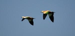 Brahminy Ducks in flight (Photo courtesy Hawk-Eye)