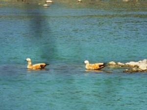Brahminy Ducks on the Ganges