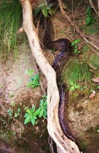 Burmese Python, Chilla range