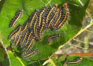 Caterpillar nest, Laldhang range