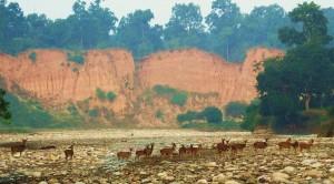 Chital herd at Chilla range