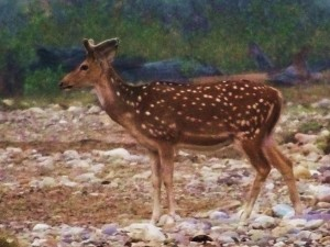 Chital stag, picture perfect