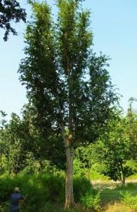 Chhal tree, Laldhang
