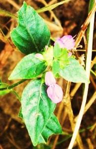 Chinese Foldwing (Dicliptera chinensis) Chilla forest range