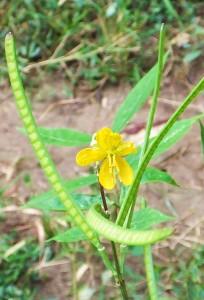 Coffee Senna (Cassia occidentalis ) Laldhang range