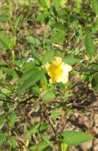 Common Sida, Laldhang forest range