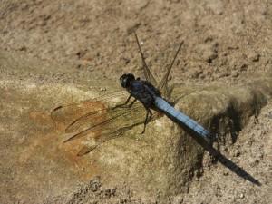 Dragonfly, Moriya sot