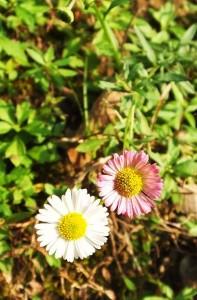 Daisy Fleabane (Erigeron bellidiodes)