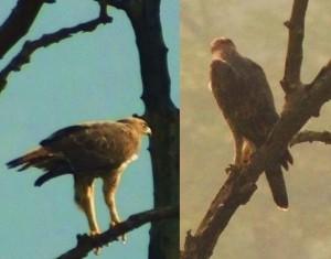 Eagle near Mundal (Photo courtesy the Scribe)