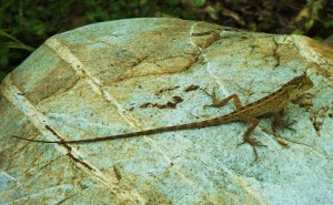 Garden Lizard (?)