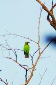 Green Leafbird, Chilla forest range