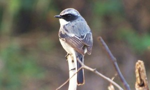 Grey Bushchat, Morni- Mallah road, Morni foothills
