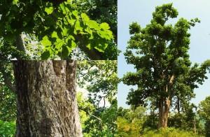 Haldu tree, Laldhang Forest Range