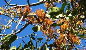 Honey Suckle Mistletoe, Rasoon,Bhoj Balag, Morni hills (November)