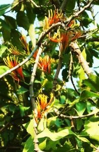Honey Suckle Mistletoe,Laldhang forest range