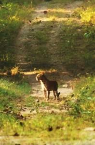 Leopard, Chilla range, Rajaji National Park