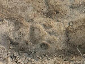 Leopard Pugmark, Chilla forest range