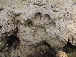 Leopard pugmark, Laldhang range