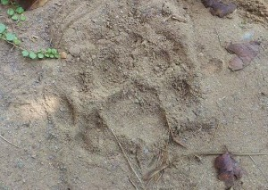 Leopard pugmark in the sand