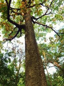 Majestic Haldu tree, Chilla forest range