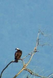 Pallas's Fish Eagle, Ganga River