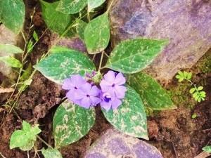 Periwinkle (Sadabahar), Chilla forest range