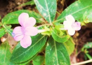 Philippine Violet (Barleria crisata) Laldhang Range