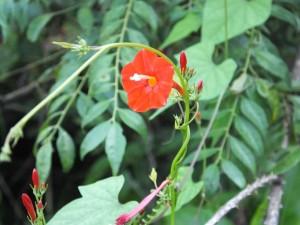 Red Star Morning Glory, Dharkot, Pauri garhwal