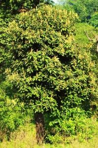 Rohini tree, Laldhang