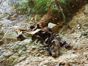Sambar kill by Tigress and her cubs, Moriya sot, Gohri range
